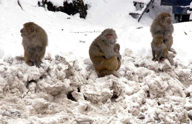 обезьяны в снегах_1