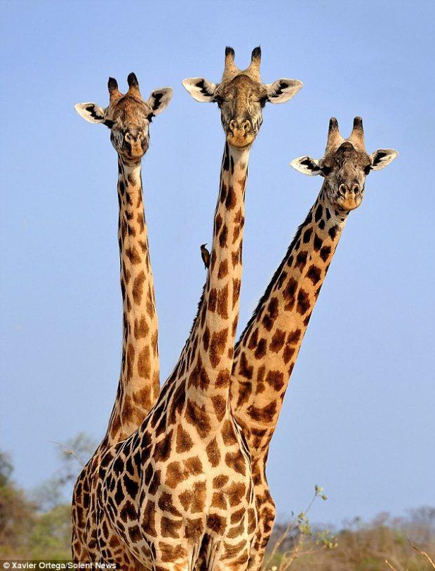 три головы жирафа_2