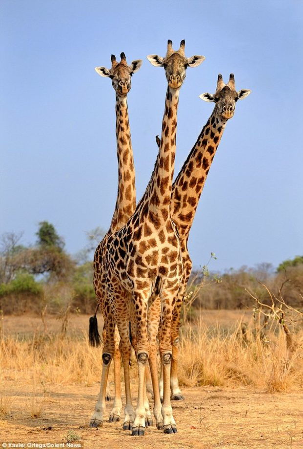 три головы жирафа_3
