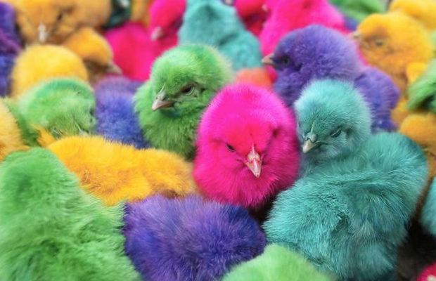 радужные цыплята_4