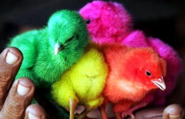 радужные цыплята_5
