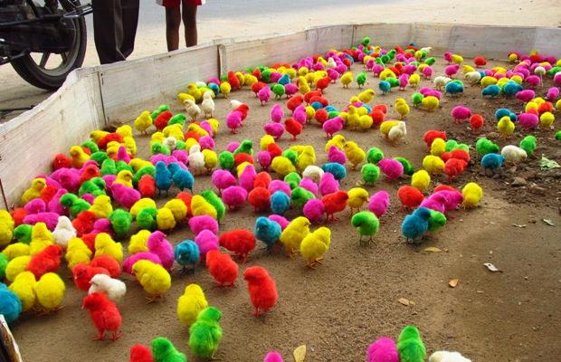 радужные цыплята_7