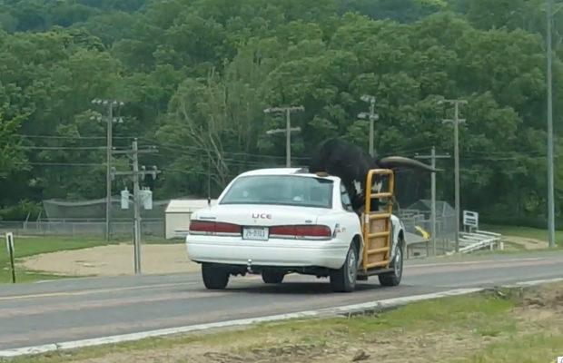 транспортировка быка_2