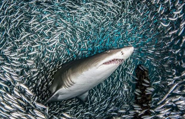 акулы_3