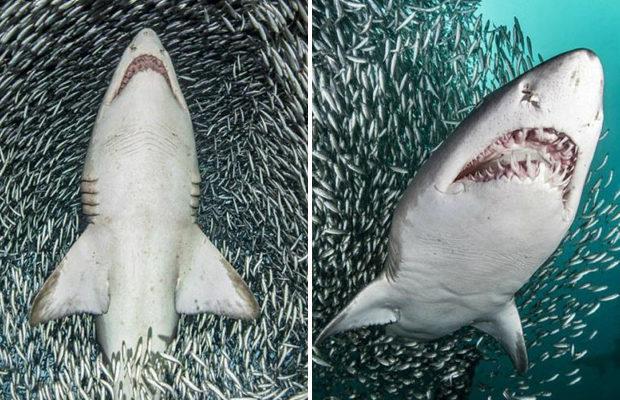 акулы_4