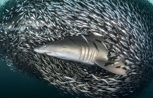 акулы_5