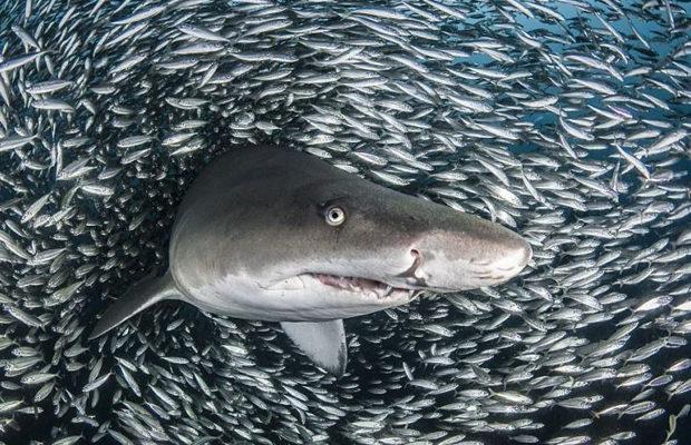 акулы_6