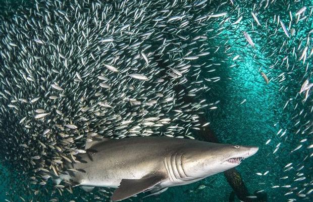акулы_7