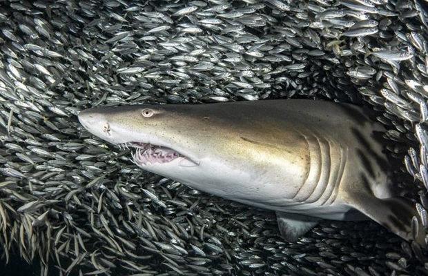 акулы_8