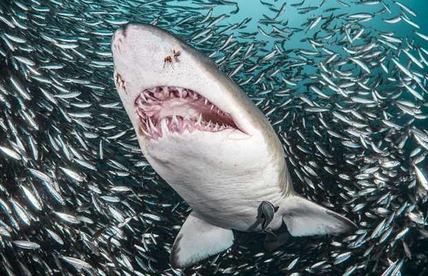 акулы_9