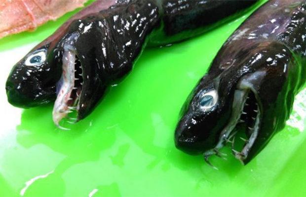 Акулы-гадюки_2