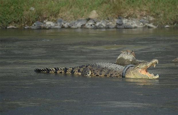 крокодил_5