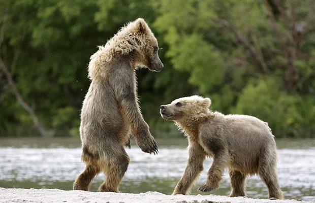 медвежата_5