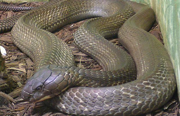 кобра и питон_4