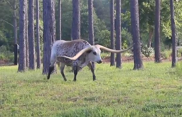 Гигантский бык стал мировым рекордсменом Природа,Разное,Гигантский бык