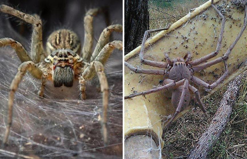фото австралийского паука по хорошему пожелать