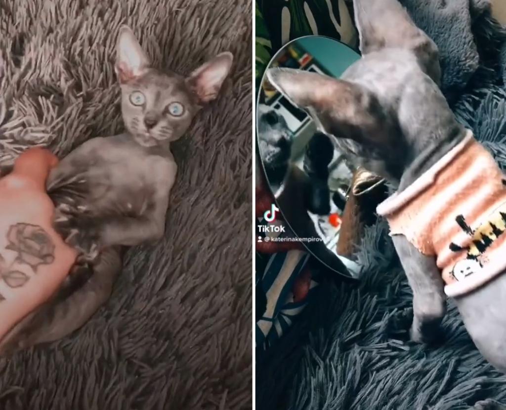 Девушка купила котёнка сфинкса, но спустя несколько месяцев не смогла его узнать, такого сюрприза никто не ожидал Природа,tiktok,кот