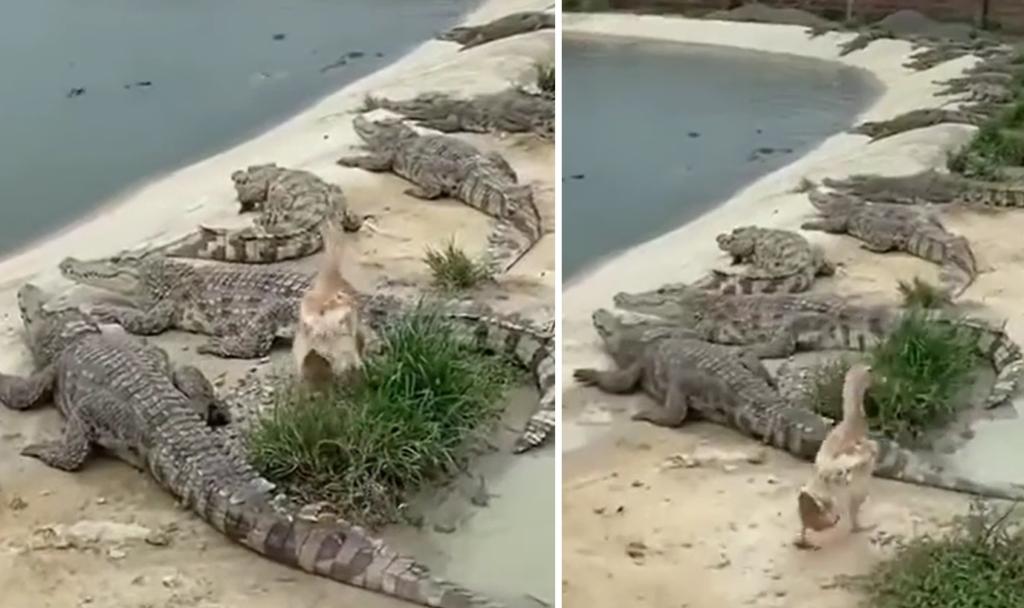 Утка решила прогуляться среди стаи голодных крокодилов и чудом осталась жива, не потеряв ни единого перышка