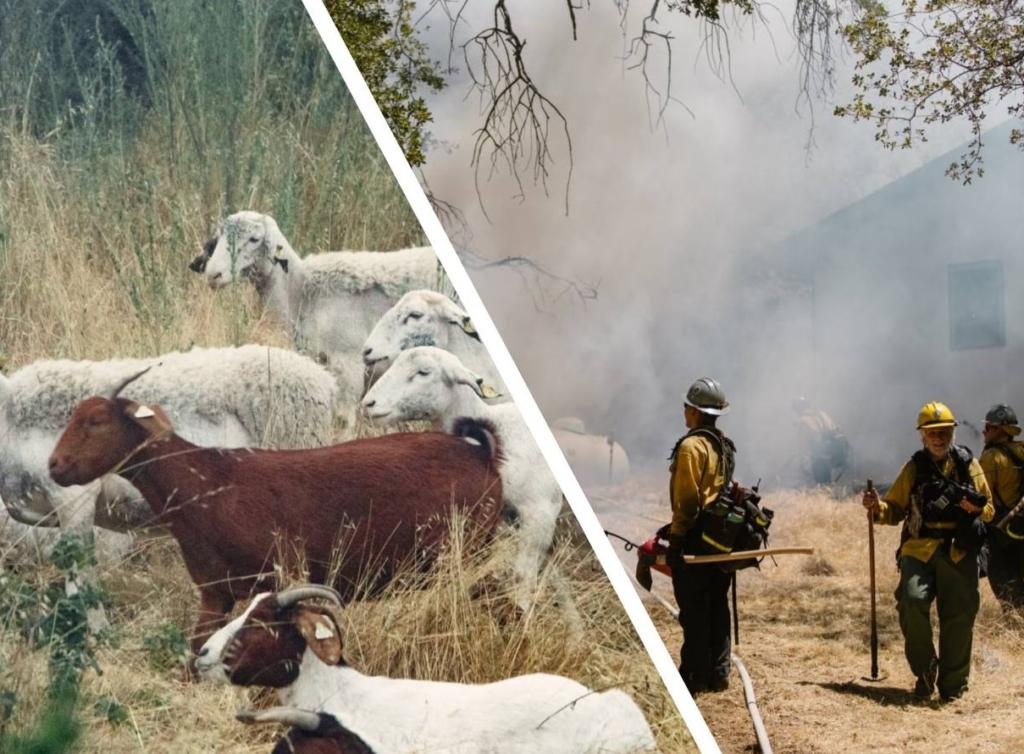В США пошли на крайние меры и решили бороться  с пожарами с помощью коз