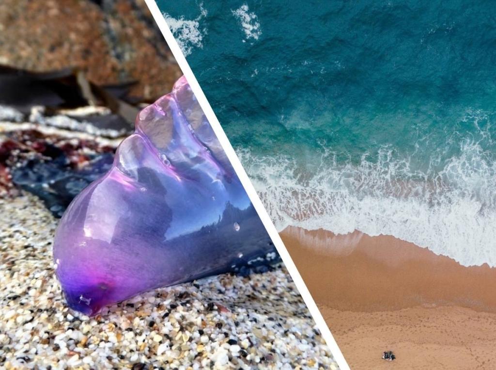Смертельно опасные для человека фиолетовые существа были найдены у берегов Англии, длина её щупальцев — 50 метров